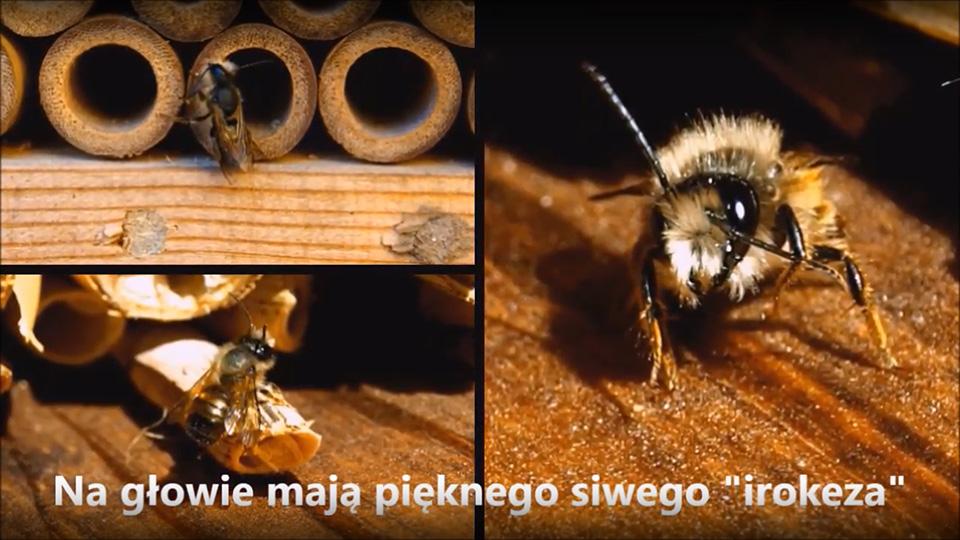 murarka ogrodowa - pszczoła z irokezem