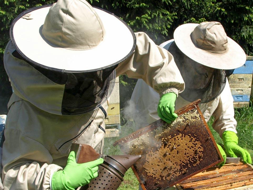 Pszczelarze w strojach ochronnych odymiają otwarty ul przy pomocy podkurzacza