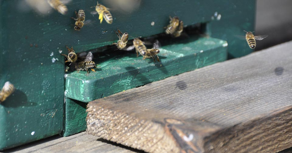 Pszczoły u wejścia do ula