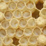 Larwy pszczoły miodnej